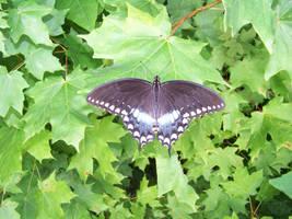 butterfly 1 by NightWhisper67