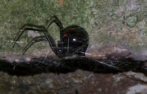 Black widow by NightWhisper67