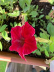 Red Petunia Stock IMG 2593