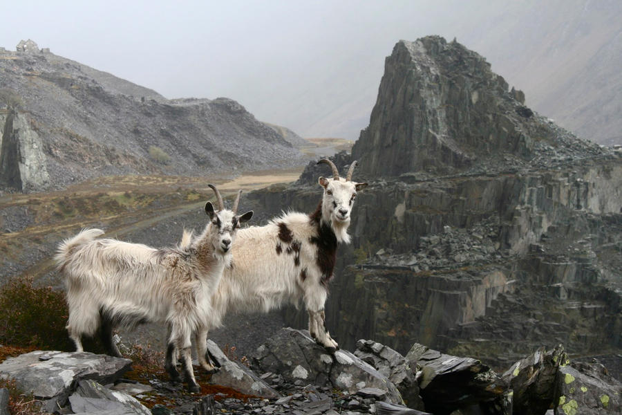 Mountain Goats by Rhyn-Art