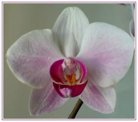 Phalaenopsis by glykeria