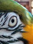 Macaw Eye Closeup