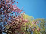 Sakura + Babylonica