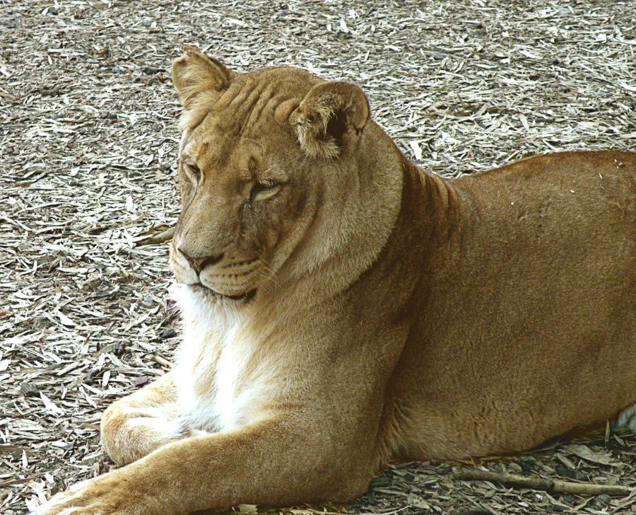 Lioness by Dithpicable