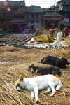 Dogglies resting in Nepal by nerveZero