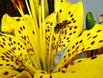 Yellow Jacket on Yellow Lily by NathansMommy1787