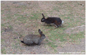 Long Beach CC Rabbits 1
