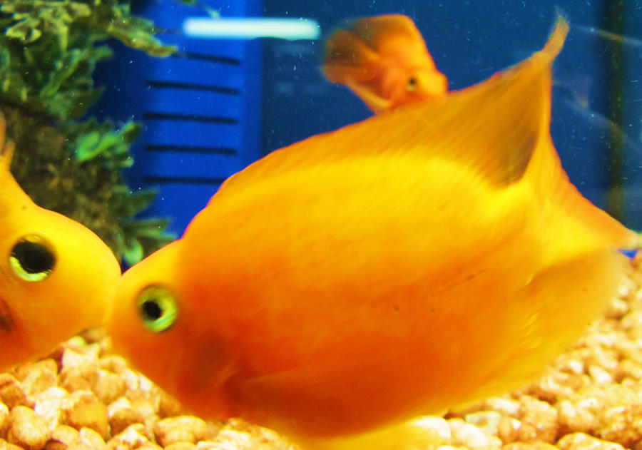 Blood red parrot cichlid by midnightfairy15 on deviantart for Red parrot fish