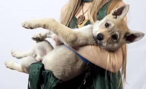 Little Direwolf -  Czechoslovakian Wolfdog Harren
