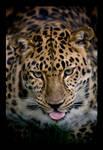 Leopard of amur.