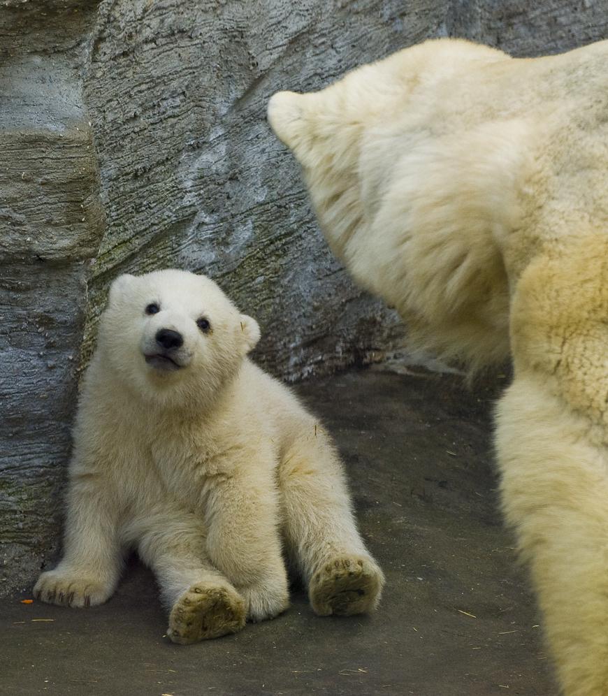 baby polar bears on ice | memes.trending.space