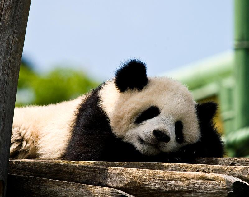 Sleeping Panda by miezbiez on DeviantArt