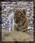 'New' Tiger Baby