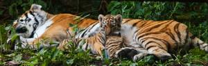tiger baby panorama