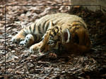 little Tiger baby