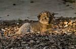 Lion baby