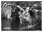 2 Tigers in BW