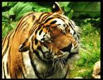 shaking tiger