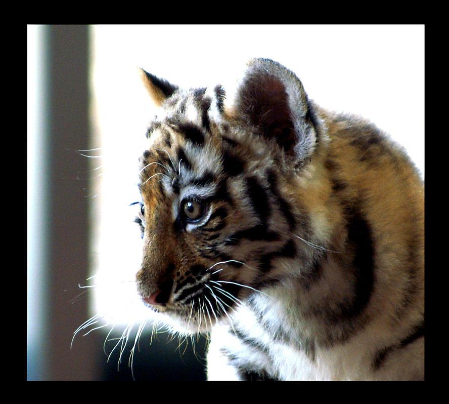tiger baby portrait by miezbiez