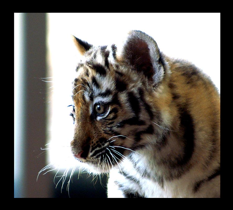 Tiger Baby Portrait By Miezbiez On Deviantart