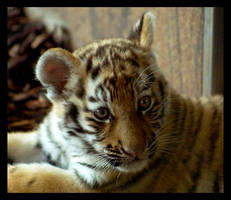 tiger baby portrait 2 by miezbiez