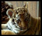 tiger baby portrait 2