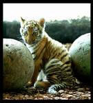 tiger baby 4