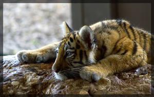 tiger sleeping on the stone