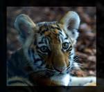 tigerbabyportrait