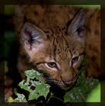 lynx baby portrait