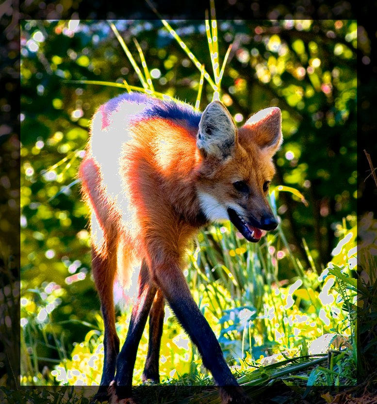 Maned Wolf Pictures Maned Wolf by Miezbiez