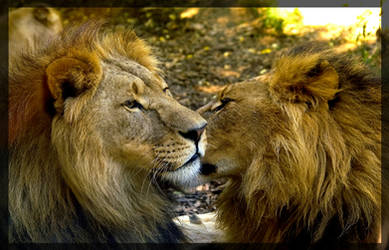 the 2 lions by miezbiez
