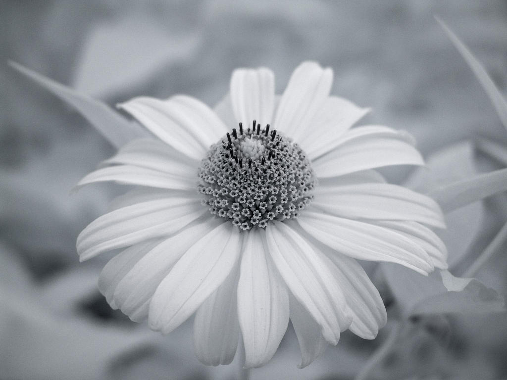 Infrared Sunflower by Bunny-with-Camera
