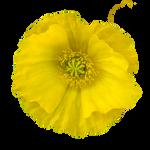 Yellow Poppy PNG