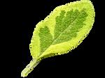 Sage Leaf PNG
