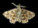 Moth PNG