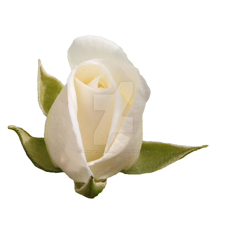 White Rose Png By Bunny With Camera On Deviantart