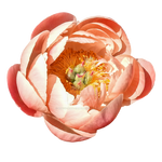 Peach Colored Peony PNG