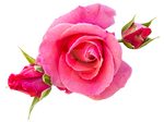 Pink Roses PNG