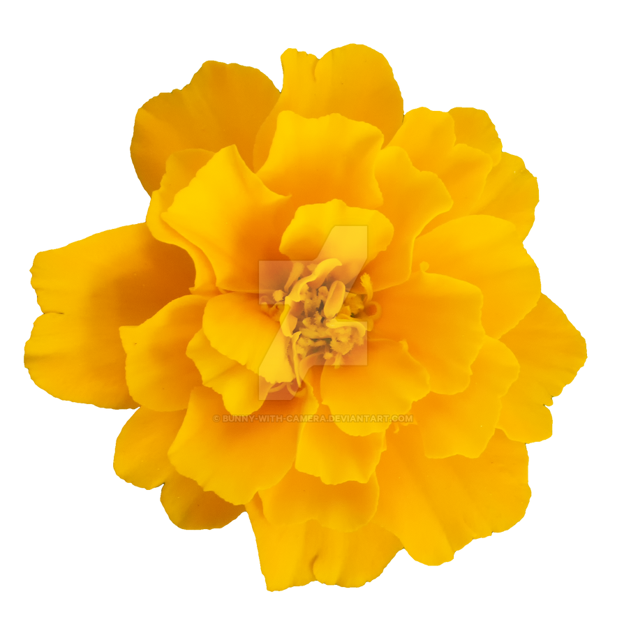 Yellow Flower Png By Bunny With Camera On Deviantart