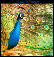 ... Grace the Peacock ... by JMckey