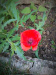 'Coquelicot' - July 29th, 2015
