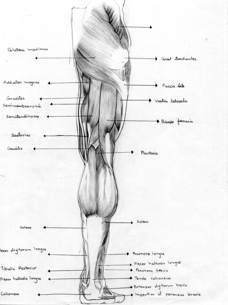 Human Anatomy Sketches By Gayatripatil On Deviantart