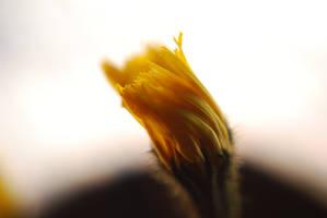 Dandelion by 5p34k
