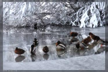 Ducks by 5p34k