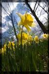 Daffodil by 5p34k