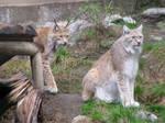 Lynxes 1