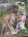 Lynxes 2