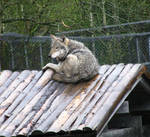 Roof Wolf