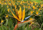Strelitzia - Birds of Paradise by Yellow-Weaver